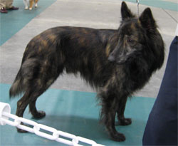 UKC Grand Champion Dutch Shepherd