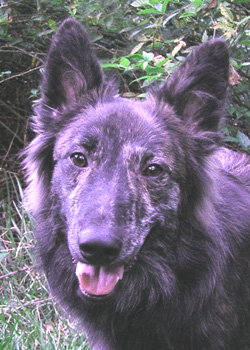 CH Lucas-Nelis longhaired Dutch Shepherd